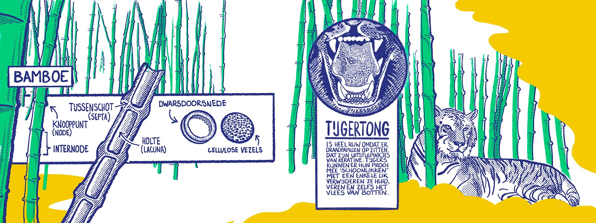 """Je ziet een getekend bamboebos in groen met blauw. Links op de voorgrond zie je een dwarsdoorsnede ven een lengtedoorsnede van bamboe. De lengtedoorsnede toont de holte (lacuna), het tussenschot (de septa), het knooppunt (de node) en de internode. De Dwarsdoorsnede laat de holte en de cellulose vezels zien. Aan de rechterkant van de illustratie ligt een tijger tussen de bamboe. Er is een close-up te zien van een tijgertong met de volgende uitleg: 'Tijgertong is heel ruw omdat er draadpapillen op zitten. Dat zijn uitstulpinkjes van keratine. Tijgers kunnen er hun prooi mee """"schoonlikken"""". Met een enkele lik verwijderen ze huid, veren en zelfs het vlees van botten.'"""